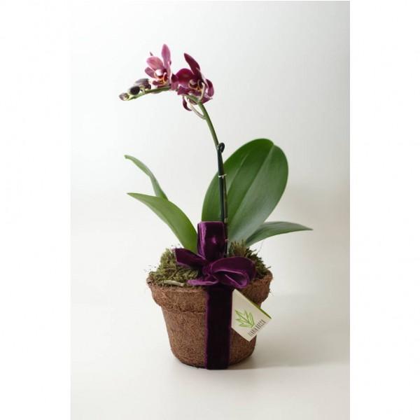 Arranjo de Mini Orquídea Phalaenopsis Bordô em Vaso Coquinho - P