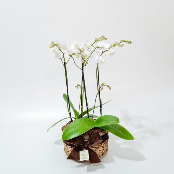 Arranjo de Orquídea Phalaenopsis Branca em Cesto de Vimê - P