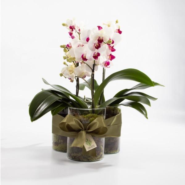 Arranjo de Mini Orquídea Phalaenopsis Semi-Alba em Trio de Cilindro - M