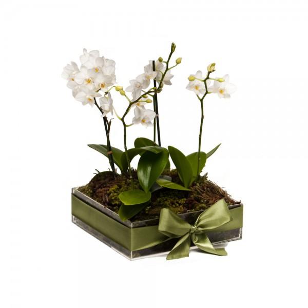 Arranjo de Mini Orquídea Phalaenopsis Branca em Caixa de Acrílico  - M