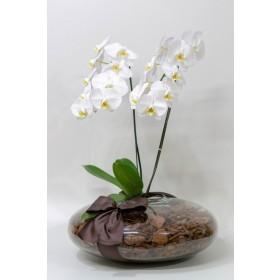 Arranjo com Orquidea Branca Plantada em Disco - GG