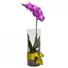 Arranjo de Orquídea Phalaenopsis Pink em Cilindro - G