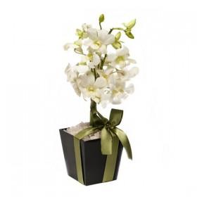 Arranjo de Orquídea Denphale Branca em Trapézio de Acrílico com Vareta - P