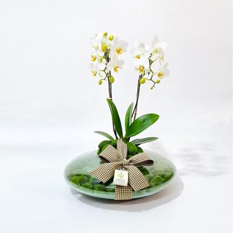 Arranjo com Mini Orquídea Branca Plantada em Disco - P
