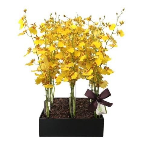 Arranjo de Orquídeas Chuva-de-Ouro em Caixa Acrílica com Tubo Fino -  M