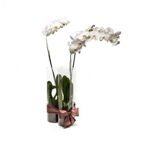 Arranjo de Orquídea Phalaenopsis Branca em Trio de Cilindros - G