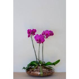 Arranjo com Orquidea Pink Plantada em Disco - GG
