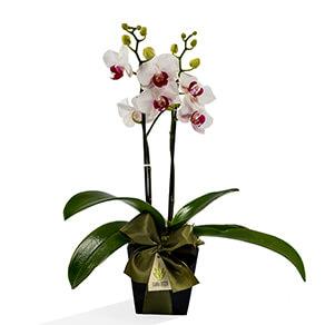 Phalaenopsis - Saiba tudo sobre!