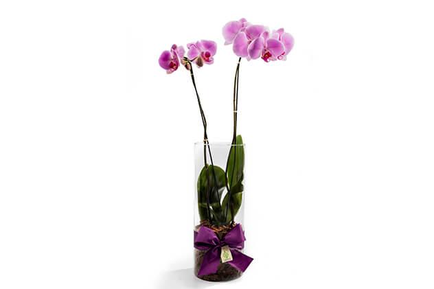 Significado da Phalaenopsis.